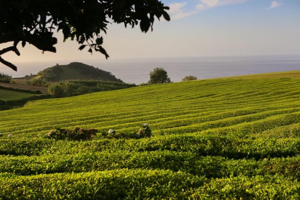 Cha Goreana teaföldek Azori szigetek Sao Miguel kalandtúra utazás